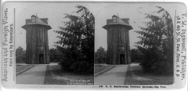 U.S. Smithsonian Institute grounds--big tree