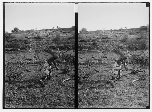 [Arab man working among olive? trees]