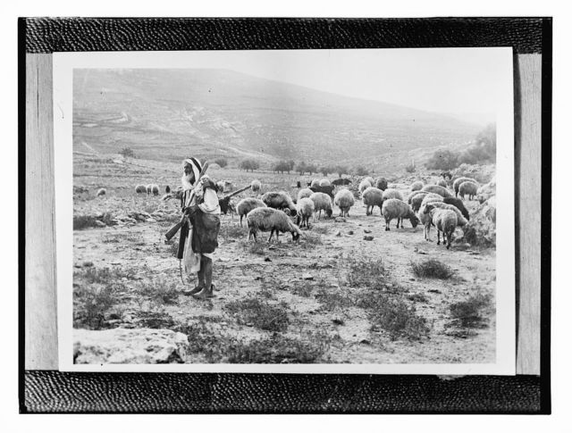 [Copy of photograph showing shepherd with sheep]