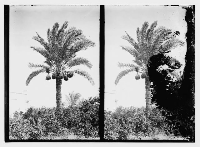 [Date palm trees]