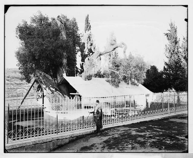 Hebron (El-Khalil). Abraham's Oak