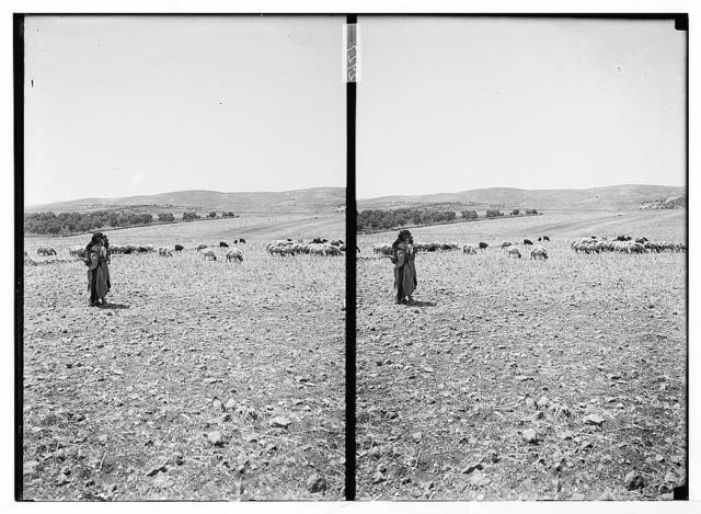 [Shepherd and sheep in field]