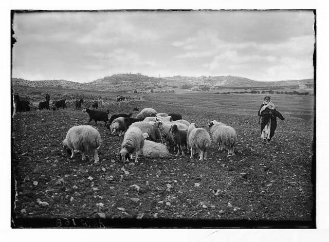 Shepherds' Fields east of Bethlehem.
