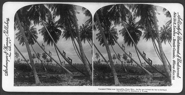 Cocoanut palms near Aguadilla, Porto Rico - as the tree is bent the boy is inclined