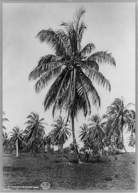 Cocoanut trees, showing fruit, Jamaica