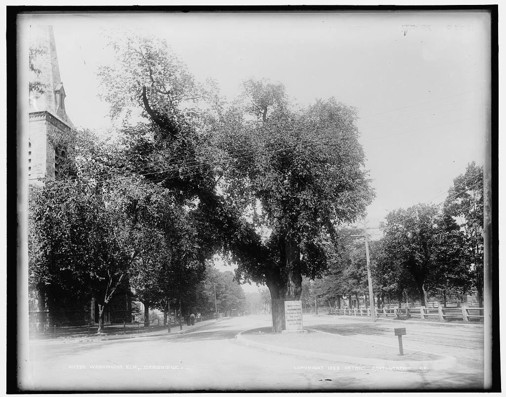 Washington Elm, Cambridge