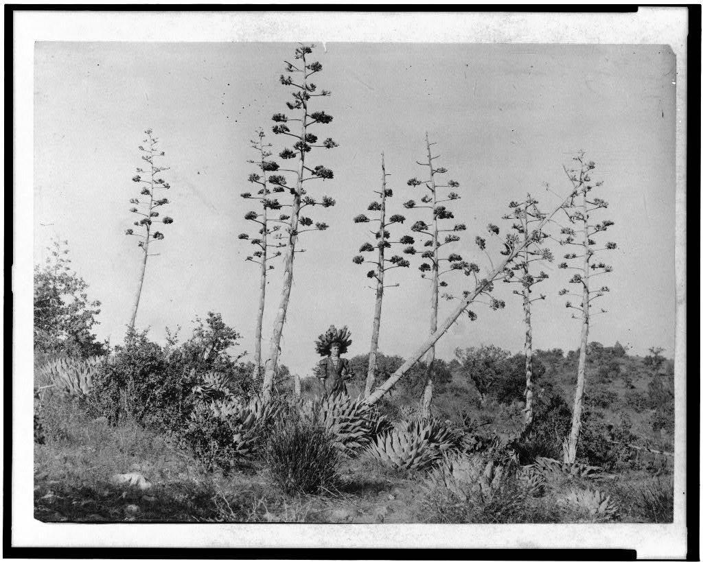 [Woman standing among century plants in southeastern Arizona]