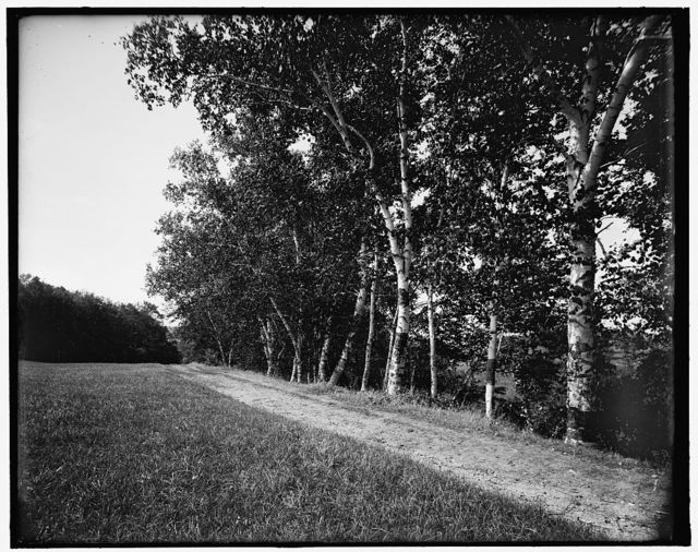 [Berkshire birches, Pittsfield, Mass.]