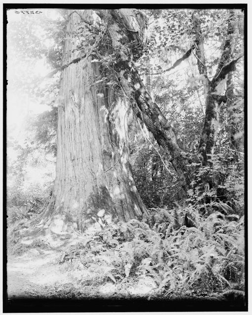 [Big tree in Stanley Park, Vancouver, Canada]