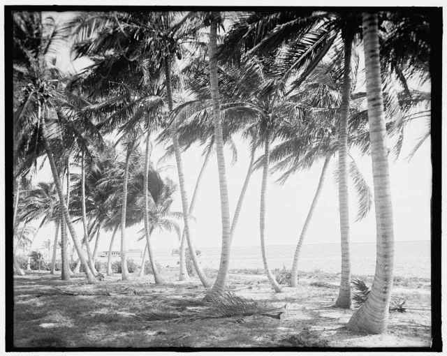 [Biscayne Bay, through the cocoanut trees, Miami, Fla.]