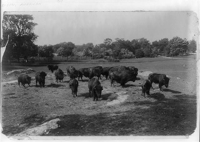 [Bison grazing]