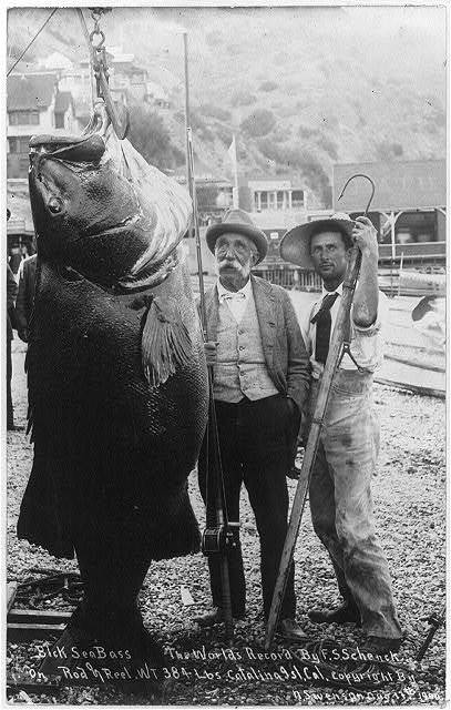 Black sea bass - the world's record by F.S. Schenck on rod and reel. Weight 384 lbs. Catalina Island, Calif.