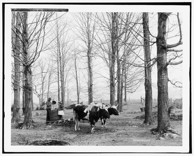 Bringing in the sap in a maple sugar camp