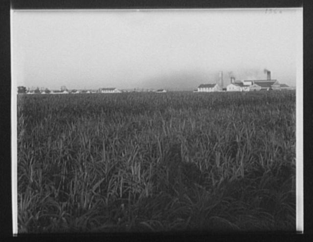 [Cane fields, Barnside, La.]