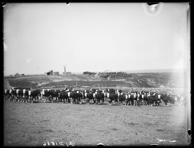 Cattle on a ranch in Cherry County, Nebraska.