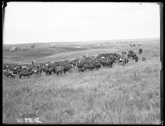 Cattle ranch near the South Loup River, Buffalo County, Nebraska
