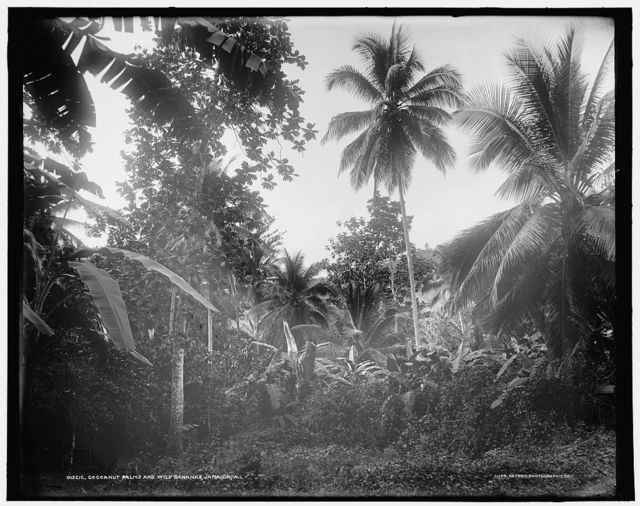 Cocoanut palms and wild bananas, Jamaica, W.I.