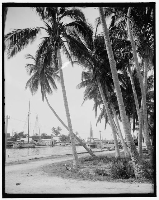 [Cocoanut trees along the docks, Miami, Fla.]