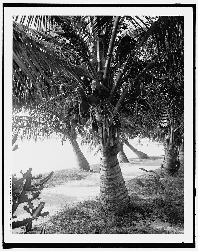 Cocoanut trees, Palm Beach, Fla.