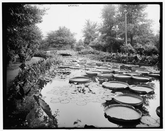 [Como Park lily pond, St. Paul, Minn.]