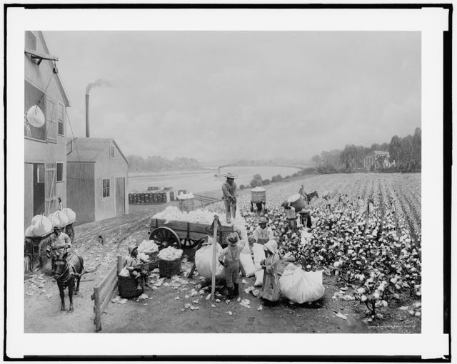 [Cotton plantation activities]