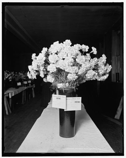 [First prize, Enchantress, daybreak pink, American Carnation Society Exhibition, Detroit, Mich.]