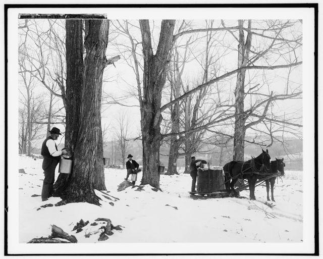 Gathering sap in a maple sugar camp
