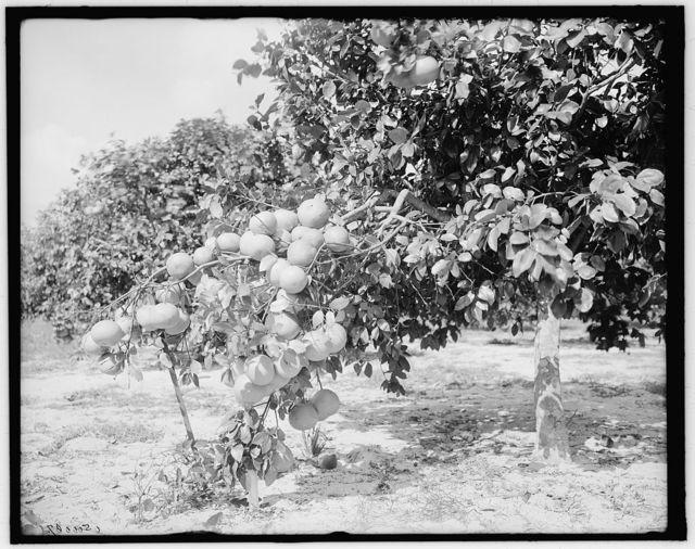 [Grape fruit, Miami, Fla.]