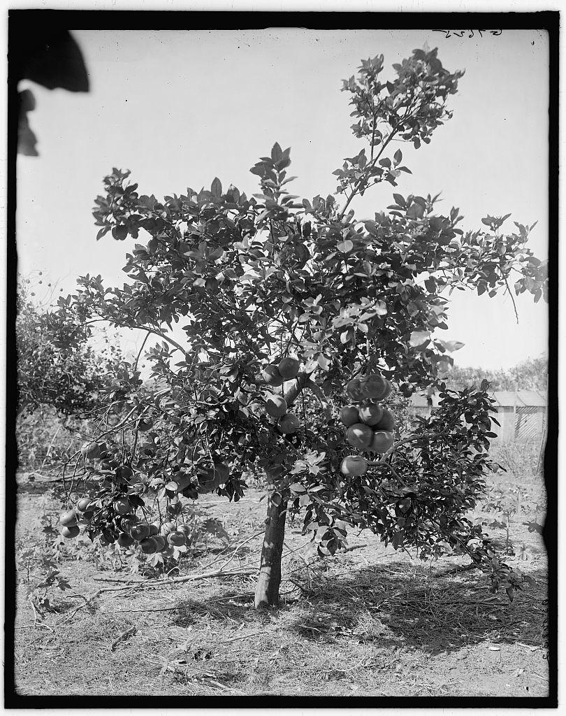 [Grape fruit, Palm Beach, Fla.]