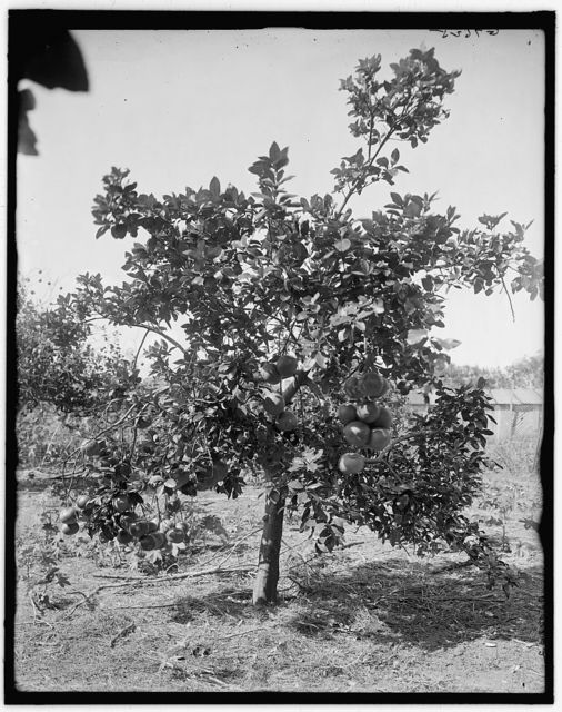 [Grape fruit, Palm Beach, Fla.]