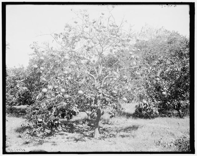 [Grape fruit tree, Palm Beach, Fla.]