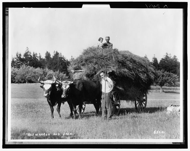 Hay waggon [i.e. wagon] and oxen