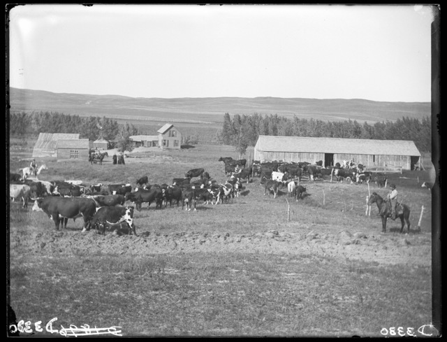 Herd of cattle on ranch in Cherry County, Nebraska