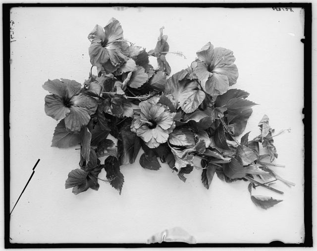 [Hibiscus blossoms, Palm Beach, Fla.]
