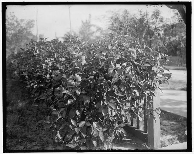 [Hibiscus blossoms, West Palm Beach, Fla.]