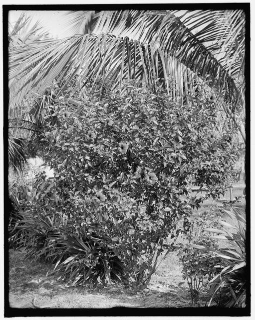 [Hibiscus, city park, West Palm Beach, Fla.]