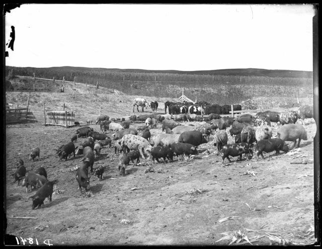 J.D. Lanterman stock, southwest of Broken Bow, Nebraska.