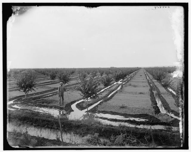 [Man in irrigated orchard, probably Pontiac, Ill.]