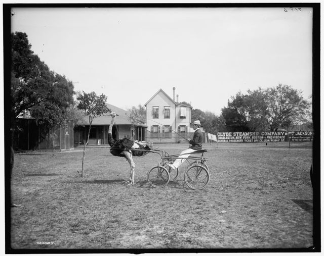 [Oliver W., the famous trotting ostrich, Florida Ostrich Farm, Jacksonville, Florida]
