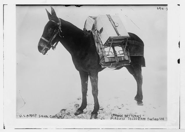Pack mule of U.S. Army Signal Corps, used for carrying storage batteries for the field wireless telegraph