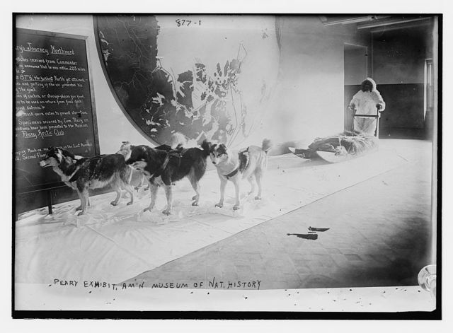 Peary Exhibit of dogs and sled, Am'n Museum of Natural History