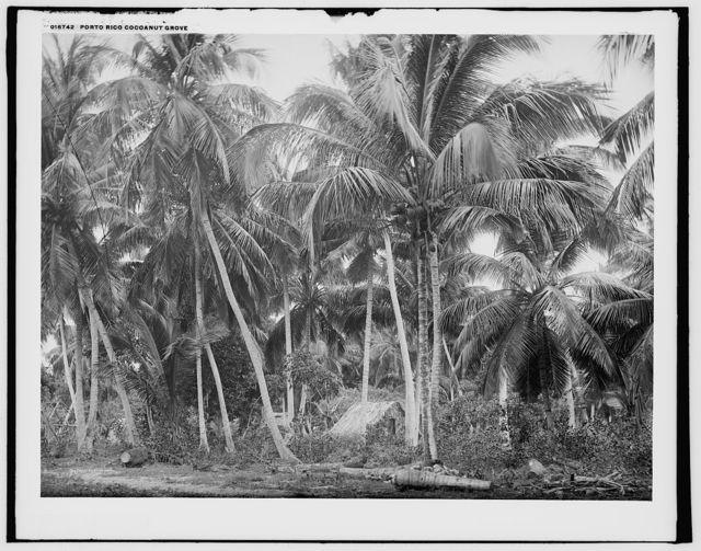 Porto Rico cocoanut grove