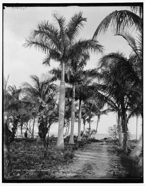 Royal palms at Cocoanut Grove [i.e. Coconut Grove], Miami, Fla.