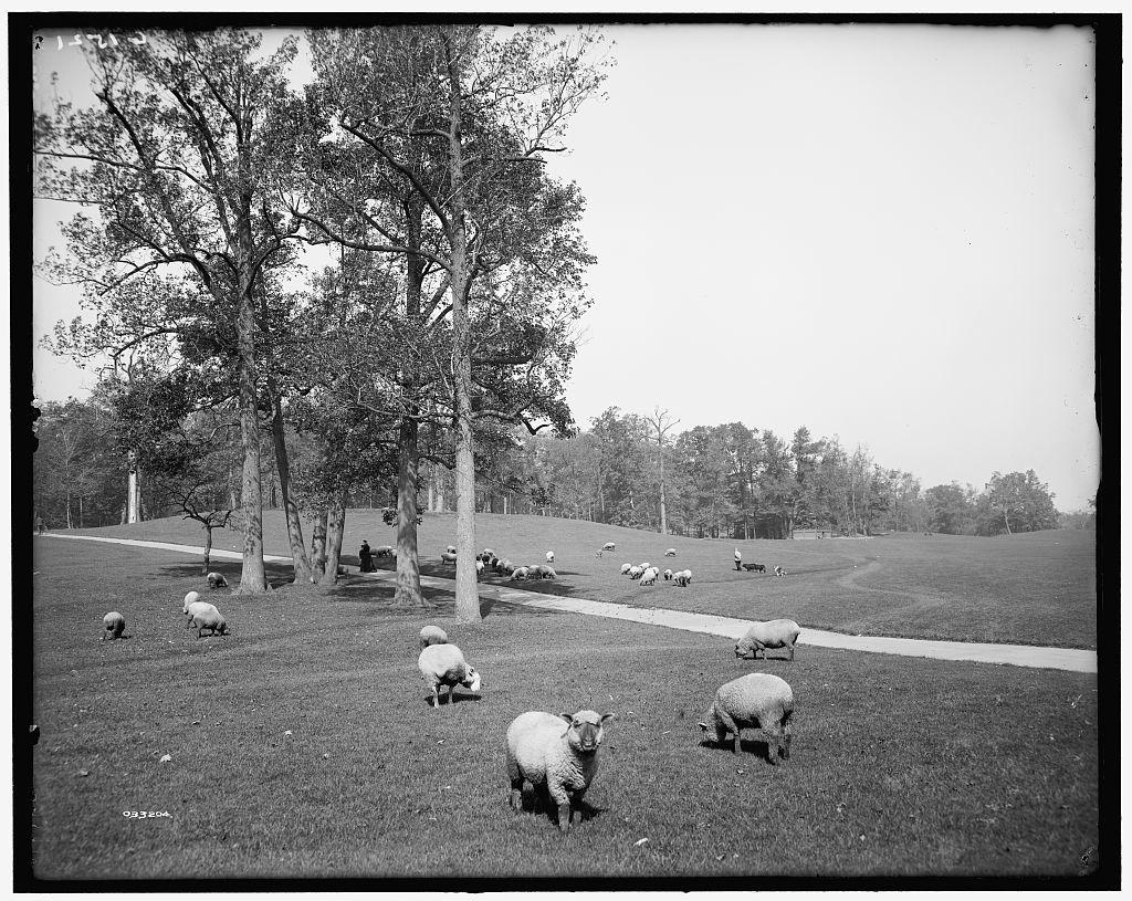 [Sheep in Prospect Park, Brooklyn, N.Y.]