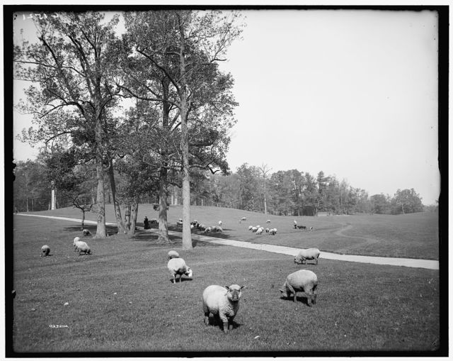 [Sheep in Prospect Park, Brooklyn, N.Y.]