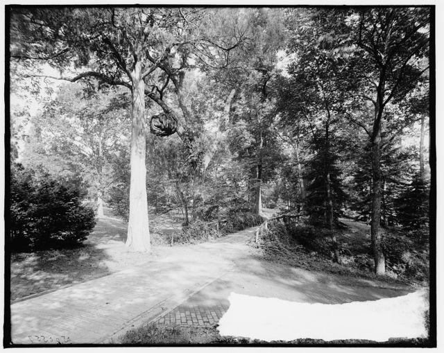 [The Big walnut burl near the tomb, Mt. Vernon, Va.]