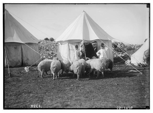 The Samaritan Passover on Mt. Gerizim. Sheep for the sacrifice.