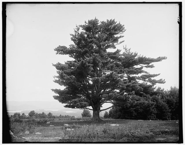 The Whittier Pine, Centre [sic] Harbor, N.H.