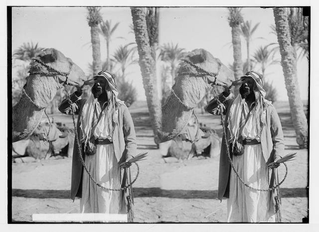 To Sinai via the Red Sea, Tor, and Wady Hebran. Feeding camel palm leaves.