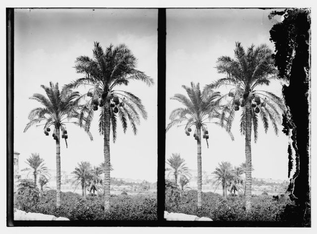 [Trees and shrubs. Date palms]